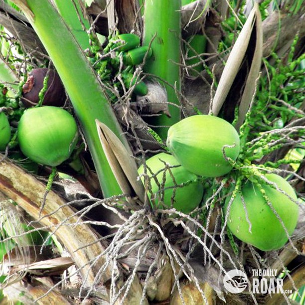 coconut tree in marathi In any tropical island, you may normally find few coconut trees and matured  coconuts fallen from the trees the problem is you do not know how to extract oil .