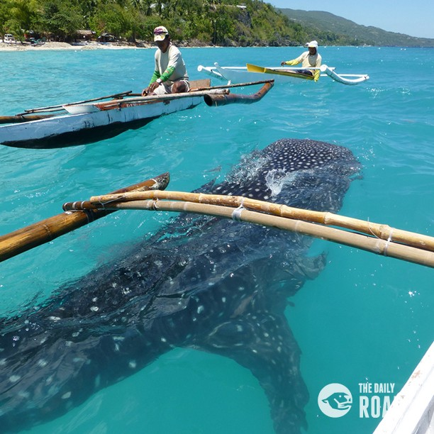 whale shark watching tours in oslob the daily roar